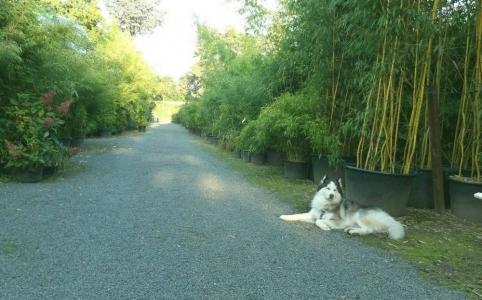 Hauptweg in der Bambus Baumschule Willumeit mit unserem Hund Husky Lucky