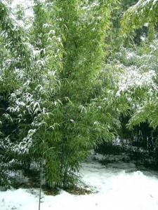 Semiarundinaria fastousa im Winter