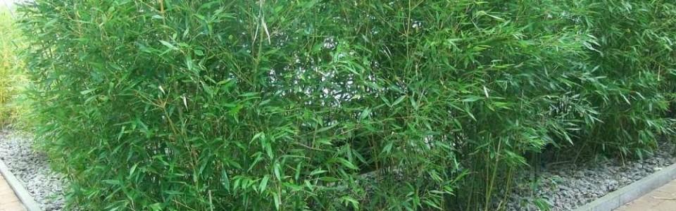 Bambus Phyllostacys als Hecke gepflanzt