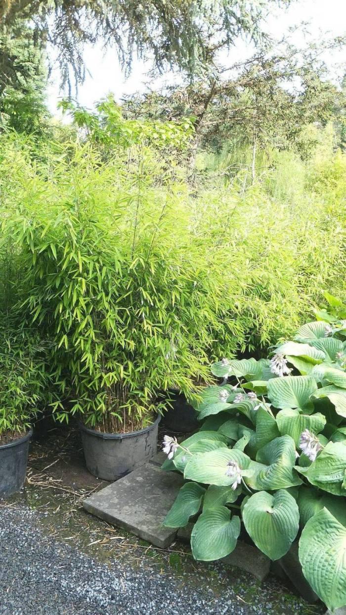 Fargesia Nitida mit Hosta Hypoloica Hybrid Bambus Baumschule Willumeit